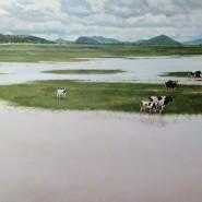 Las vacas de Don Nicolas
